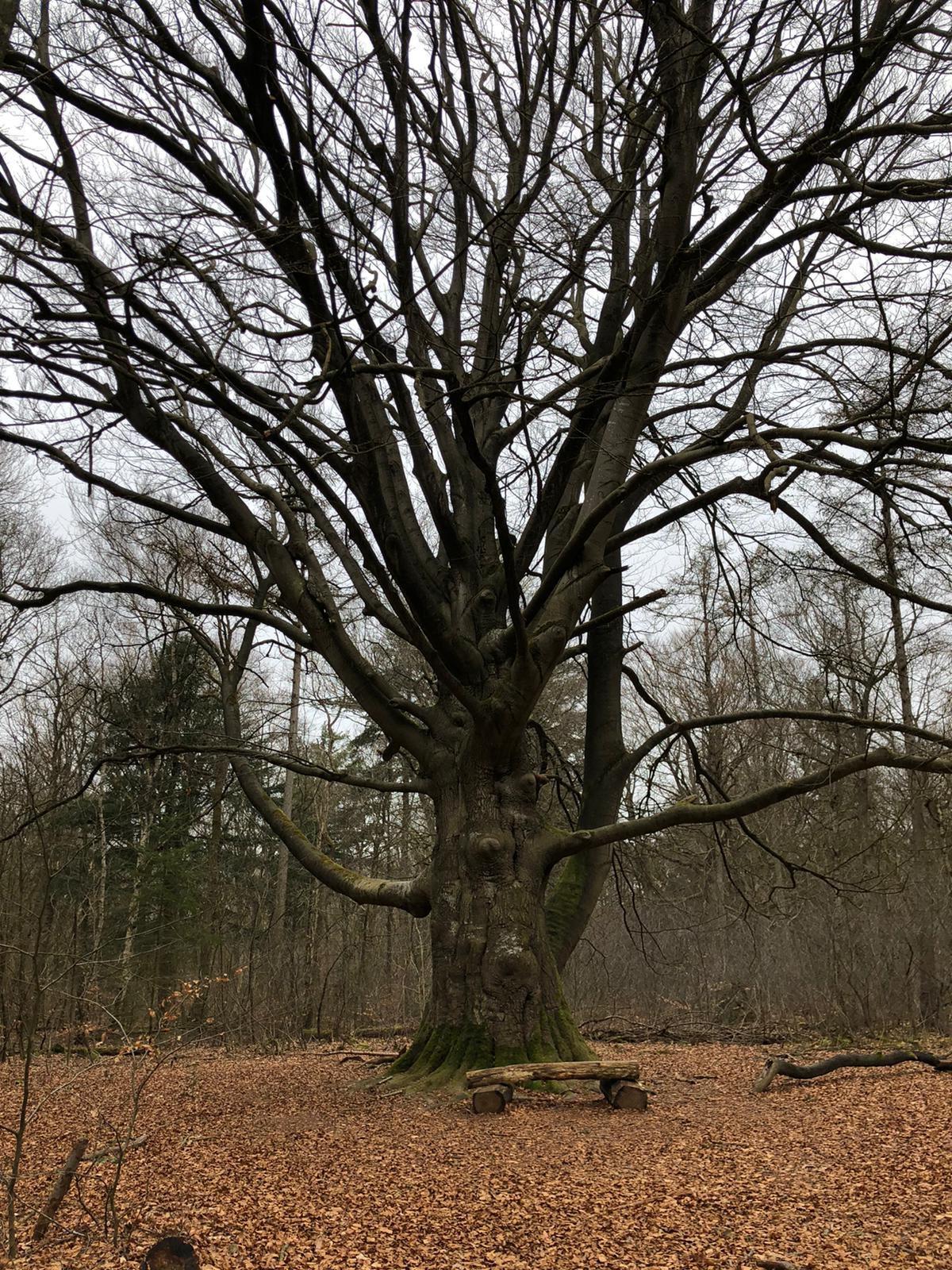 rt-waandersr-wandelbankjes-voor-een-indrukwekkende-boom-in-het-prachtige-rysterbosk%f0%9f%92%9a-https-t-co-uxdusgpu2c